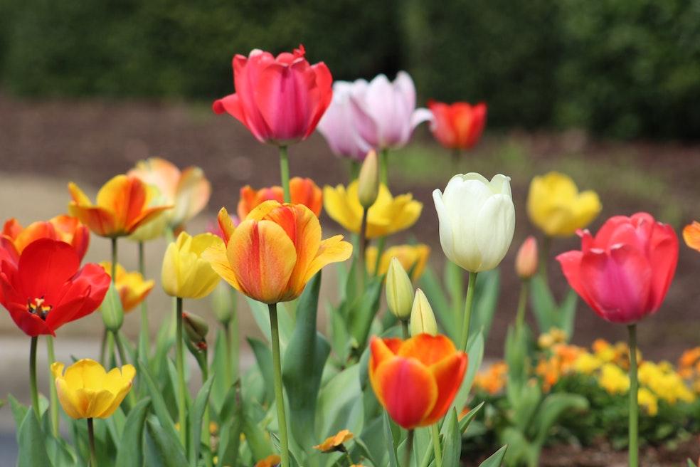 Tulips Spring KonMari tidying